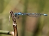 Coenagrion caerulescens - male IMG_2497