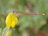 Platycnemis acutipennis - male IMG_2527