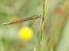 Platycnemis acutipennis - female IMG_2556