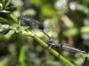 Coenagrion caerulescens - tandem IMG_2595
