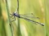 Lestes macrostigma - female - Malaga IMG_2757