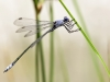 Lestes macrostigma - male - Malaga IMG_2780