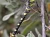 Cordulegaster boltonii - female IMG_2908