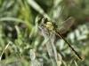 Gomphus pulchellus - male - Los Barrios - IMG_2942