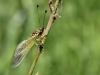 Libelloides ictericus - Langfühleriger SchmetterlingshaftIMG_2971