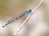 Coenagrion caerulescens - male IMG_3117