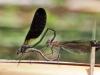 Calopteryx haemorrhoidalis - copula_IMG_3127