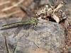 Gomphus pulchellus - female IMG_3172