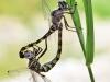 Zygonyx torridus - copula - mating - IMG_3198