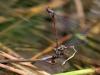 Pyrrhosoma nymphula - ovipositing - IMG_3245