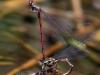 Pyrrhosoma nymphula - ovipositing - IMG_3249
