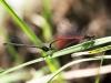 Pyrrhosoma nymphula - tandem - IMG_3250