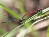 Pyrrhosoma nymphula - tandem - IMG_3256