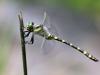 Cordulegaster boltonii - male - IMG_3260