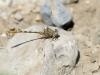 Onychogomphus costae - male - IMG_3263