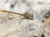 Onychogomphus costae - male - IMG_3265