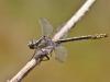 Gomphus graslinii - male - IMG_3826