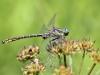 Gomphus graslinii - male - IMG_3858