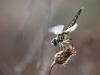 Selysiothemis nigra - female - IMG_4136