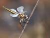 Selysiothemis nigra - female - IMG_4196
