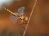 Selysiothemis nigra - female - IMG_4208