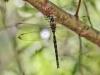 Boyeria irene - male - IMG_4265