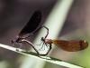 Calopteryx haemorrhoidalis - copula - IMG_4383