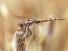 Trithemis annulata - female - IMG_4458