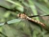 Onychogomphus forcipatus ssp. unguiculatus female teneral IMG_5276