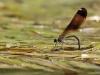 Calopteryx haemorrhoidalis female ovipositing_IMG_5395