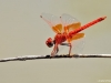 Trithemis kirbyi male_Feuerroter Sonnenzeiger IMG_5472