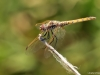 Trithemis annulata female IMG_5567