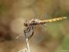 Trithemis annulata female - Violetter Sonnenzeiger Weibchen_IMG_5573