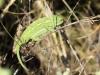 Chamaeleo chamaeleon in Andalusien_IMG_5842