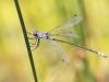Lestes macrostigma - male IMG_2474