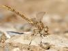 Onychogomphus costae - female_IMG_0874