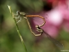 Platycnemis acutipennis mating_copula__IMG_5161