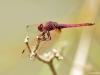 Trithemis annulata male_IMG_5335