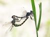Zygonyx torridus - copula _IMG_3209