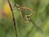 Platycnemis acutipennis mating_copula_IMG_5156