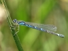 Coenagrion scitulum - female_IMG_1414