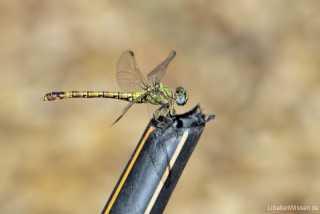 Paragomphus genei - female IMG_8644