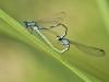 Coenagrion caerulescens - copula _IMG