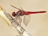 Crocothemis erythraea - male IMG_0330
