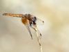 Trithemis kirbyi - female IMG_8115