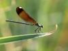 Calopteryx haemorrhoidalis - female IMG_8222