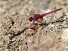 Trithemis annulata - male IMG_8258