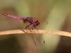 Trithemis annulata - male IMG_8269