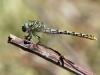 Onychogomphus forcipatus ssp. unguiculatus - female IMG_8411