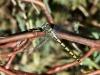 Onychogomphus forcipatus ssp. unguiculatus - female IMG_8418